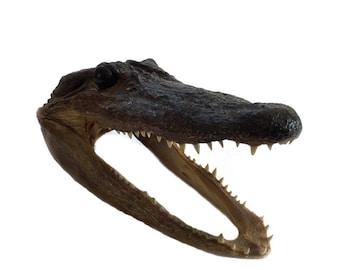 Vintage Small Real Alligator Caiman Head Taxidermy Swamp People Everglades
