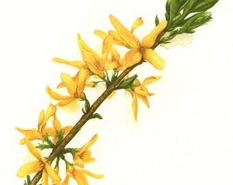 Forsythia Botanical Watercolour Print