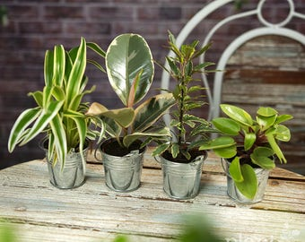 Houseplant Mix (B) In Decorative Metal Pales - Plants - House / Office Live Indoor Pot Plant - Ideal Wedding Favour Party Gifts