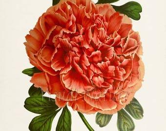 Tree Peony Flower Art Print, Botanical Art Print, Flower Wall Art, Flower Print, Floral Print, Red Peony Art Print