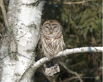 Sleepy Barred Owl, bird greeting card, blank write your own msg., bird lovers, owl lovers, nature photograph