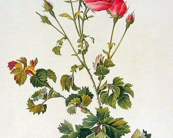 Anjou Rose, Cabbage Rose - 2 Sided Vintage Roses Book Plate p88