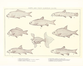 1903 Fish Print - Carp - Vintage Antique Home Decor Book Plate Art Illustration for Framing 100 Years Old