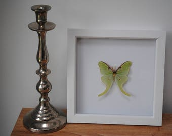 Actias Luna mounted in a black or white wood frame
