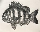Sheepshead fish fishing a...