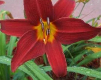 Daylily Red & Gold