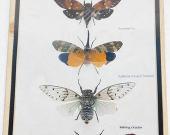 5 Real CICADA Insect Taxidermy Collection in wooden box / inf07Y