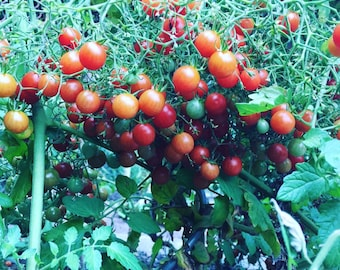 Baby Tomato 10 seeds, over 1000 fruits on one plant!!! Tomato under 1 cm