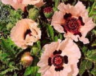 35+ Princess Victoria Louise Poppy Papaver Orientale / Perennial Flower Seeds