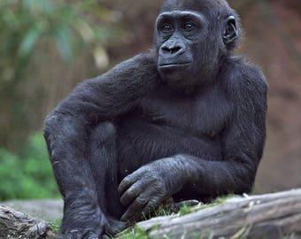 "Gorilla Photograph, Color Photography, Nature Photo, Wall Art, Art Print, Animal Portrait, Primate, ""Gorilla #1"""