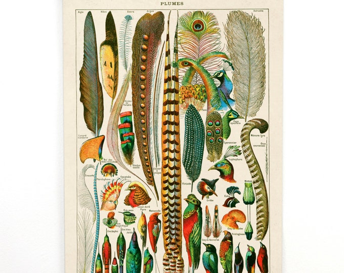 Featured listing image: Feather Pull Down Chart Vintage Reproduction. French Plumes Le Petit Larousse by Millot. Birds Zoology  - CP201CV