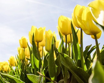 Yellow Tulips Field and Sky Summer Digital Photograph