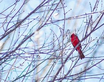 Male Cardinal, Bird Photography, Fine Art Print, Bird Print, Wall Art, Gift, Nature Print, Winter Photography, Free Shipping, Photography