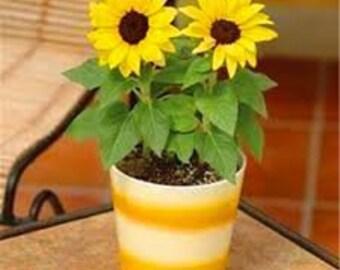 40 pcs/bag mix colors Dwarf sunflower seeds, bonsai flower seeds for home garden potted plant