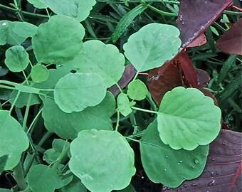 Papalo - Porophyllum ruderale - medicinal herb -  SEEDS