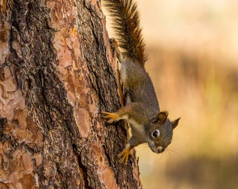 Red Squirrel On A Bull Pine.