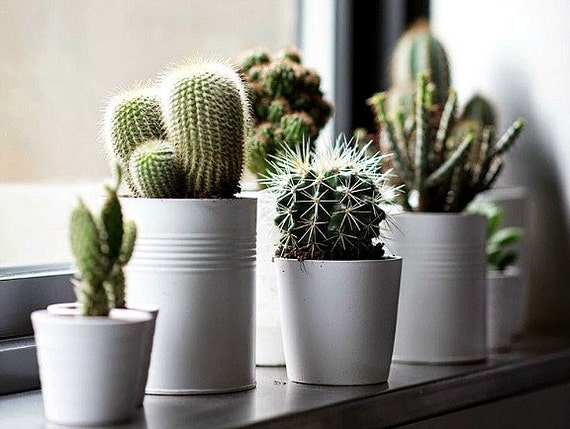 Exceptional Windowsill Cactus Collection 110 Rare Seeds Five Fancy