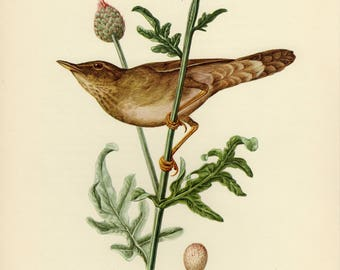 Vintage lithograph of the river warbler from 1953