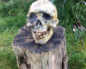 Australopithecus Afarensis Skull Replica
