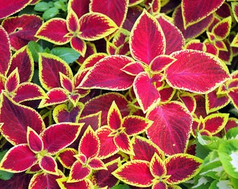 Coleus Giant Exhibition Rustic Red 10 Seeds