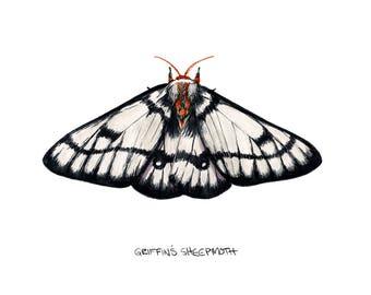 Griffin's Sheepmoth  (Hemileuca griffini)
