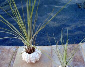2 Sea Urchin Air Plant Planters Small and Medium