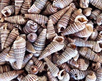 Cerithium Sulcata Seashells (appx. 200 pcs.)