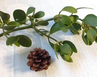Mistletoe, fresh, real, and ready for Christmas decorations//Holiday//Organic//Meet me under the mistletoe//Kissing ball//Live plants//Decor