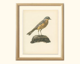 Yellow Wagtail, Cow Bird, Quaketail, Water Wagtail, 8 x 10, Book Page DEM/1959/73, Ornithology, Frameable Vintage Bird Print