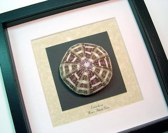 Real Framed Museum Collection, echinoidea sp Large Multi Colored Sea Urchin S1515M