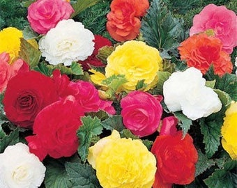 Grow Your Own Begonia Malus Spectabilis Mixed Colors Seed, 15 Seeds, Organic heirloom, GMO free