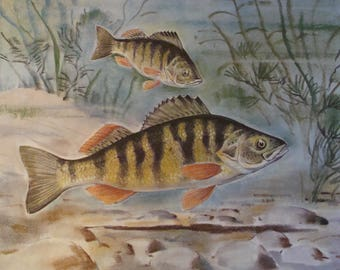 Yellow Perch In Water Advertising Proofs Prints