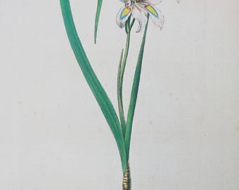 Botanical print Vintage Flower print Gladiolus Hastatus botanical floral art illustration