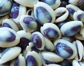 Purple Top Cowrie Seashells (appx. 50 pcs.) - Cypraea Annulus