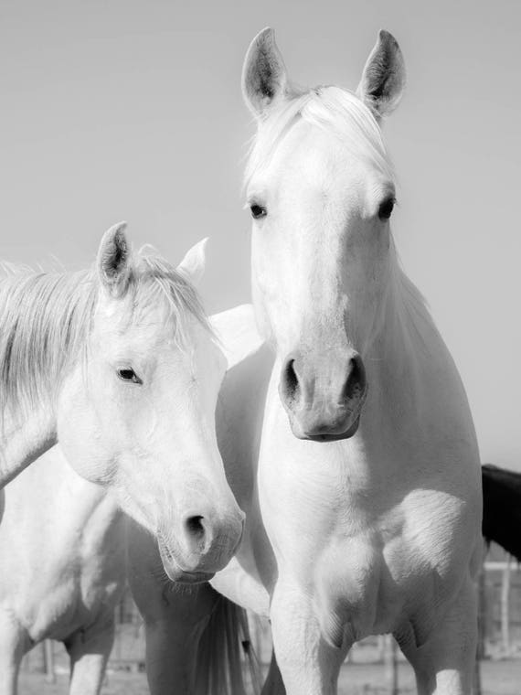 "Horse Prints, ""WHITE ARABS"". Arab Horses, White Horses, Equine Print, Limited Edition, Photographic print, Animals"