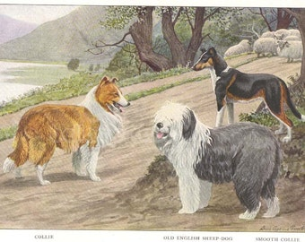 1910s Print Collie Old Englsih Sheep Dog and Smooth Collie by Louis Agassiz Fuertes