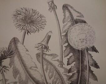 "DANDELION antique print 1876 original old botany print with pictures of dandelions flower botanical flora floral poster -  21x27c 8x11"""