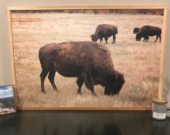 Buffalo Grazing Photography