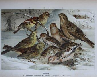 antique print birds  hammer bunting 1895