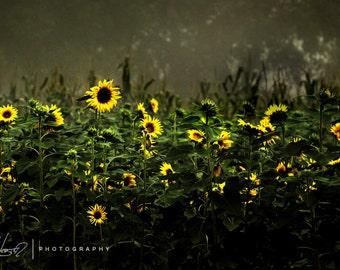 Sunflowers in Fog 7