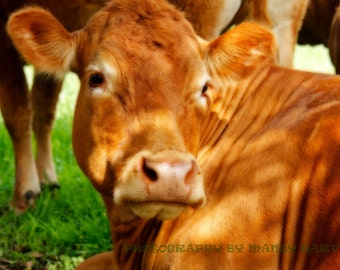 Cow Watching Her Calf In Soft Focus, Nature Photograph, Baby Animals, Nursery Picture, 9X6 Photograph, Home Decor
