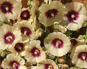 Rare Yellow Red Hollyhock Seeds Perennial Giant Flower Garden Plant Spring Summer Fall Holly Hock Tall Big Blooming Blooms Yard 330