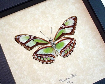 Framed Butterfly Real Green Peru Glider Conservation Quality Display 483V