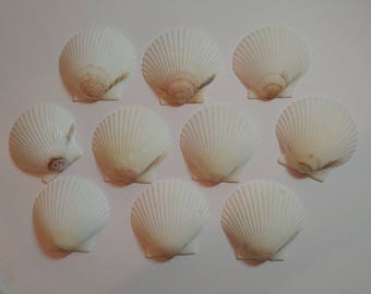 Scallop Shells - From Crystal River, FLorida - Freshly Caught by me - Shells - Seashells - White Seashells - 10 Natural Shells  #130