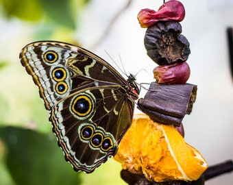 Snacking Butterfly