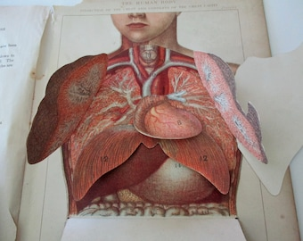 1900s overlay color litho MANIKIN from antique medical book - charts, abdomen, chest, organs