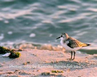 Wistful Sandpiper at the Shore, Fine Art Matted Photography