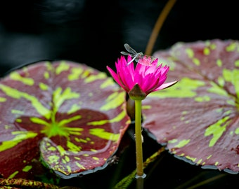 Waterlily + Dragonfly