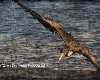Frigatebird Flight