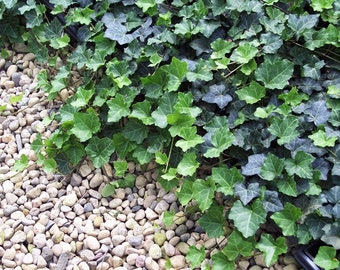 "Thorndale English Ivy 48 Plants - Hardy Groundcover - 2 1/4"" Pot"